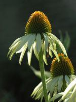 Germinazione dei semi di fiori Echinacea
