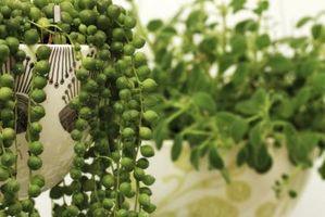 Come prendersi cura di un filo di perle piante