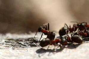 Controllo della formica naturale con acido borico