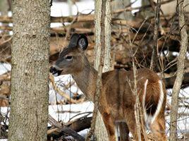 Dogwood Silky per Deer