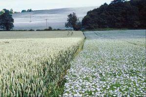 Lino è una pianta annuale in crescita?