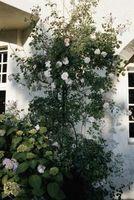 Come innestare Albero Roses