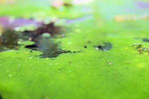 Paglia di segale di controllo Pond Scum alghe