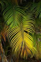 Come proteggere Areca Palm Trees dal freddo