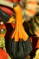 Ornamentali semi di zucca