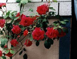 Che Roses sono i migliori per crescere su un traliccio?