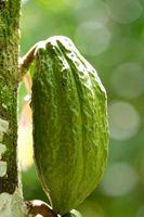 Quanto spazio avete bisogno di crescere Cacao Trees?