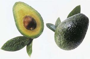 Identificazione Avocado Foglia