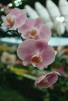 Come piantare Orchidee con altre piante