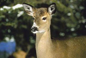 Perenni Deer non mangia
