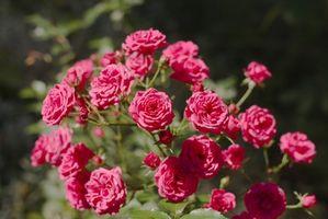 Rose Bush foglie di svolta giallo