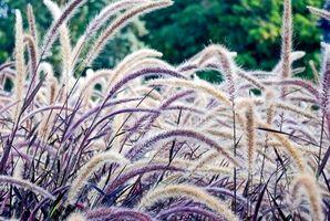 Tipi di erba decorativi