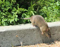 Acido borico per Killing Rats