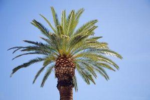 Non Radici Palma Grow grande come la Palma?