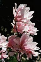 Malattie Magnolia Tree con macchie bianche