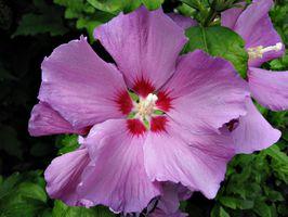 Hardy Hibiscus Insetti