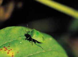Come uccidere Stink Bugs su Pomodori