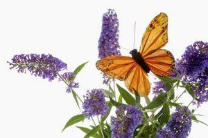 Idee paesaggio con cespugli nani farfalla