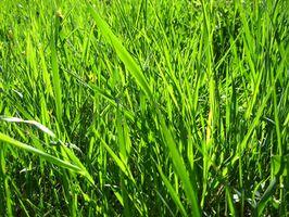 Come mantenere erba verde in inverno