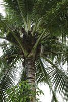 Quanto tempo per crescere una noce di cocco a piena maturità?