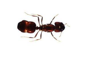 Come usare acido borico per tenere gli insetti e parassiti Lontano