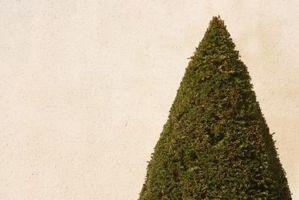 Piramidale arbusti sempreverdi