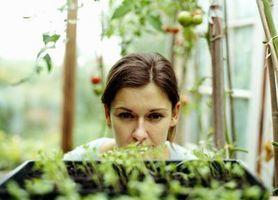 Fa un sole pianta chiara Mimic?