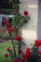 Calce Zolfo Spray sulle rose in estate