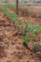 Come coltivare ortaggi in Zona 10
