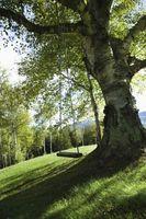 Che cosa fare con gli alberi Fosforo?