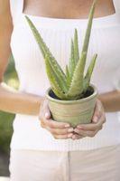 Succulente comuni