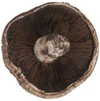 Che tipo di funghi crescono su Ash Tree Logs?