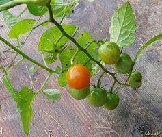 E 'possibile separare due piante di pomodori senza danneggiare loro?