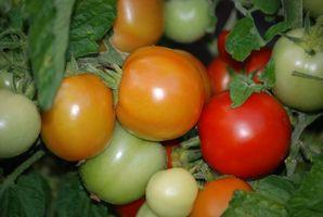 Quali sono le cause macchie bianche sul Home Grown Tomatoes?