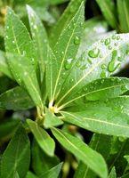 Come fotosintesi è influenzata dalla quantità di acqua