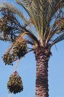 I fattori che influenzano la crescita di palma da dattero alberi