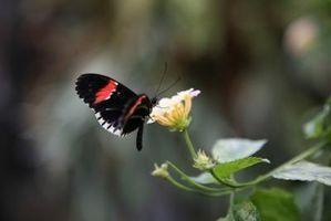 Caprifoglio farfalla Bush