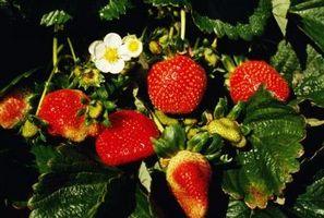 Cosa fare per mantenere i parassiti Da mangiare fragole foglie delle piante?