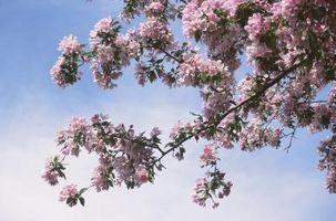 Come per impollinare un albero di mele a mano