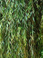 Come piantare salici piangenti