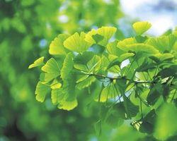 Come per fertilizzare un albero Ginkgo