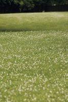 Il tempo per Clover germinazione dei semi
