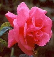 Come coltivare le rose in the Shade