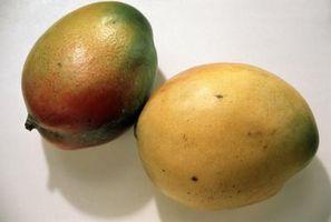 Per quanto tempo Mango Trees Da Piantine dare i suoi frutti?