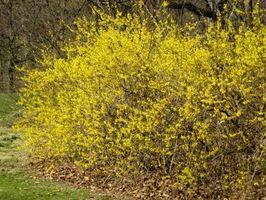 Arbusto Alberi Descrizione