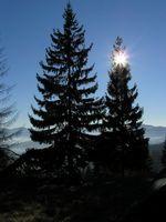 Landscaping: Abeti