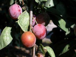 Malattie del Satsuma prugna frutta