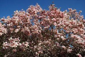 Perché Magnolia foglie diventano marroni?