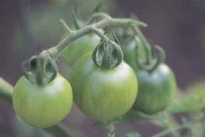 Il modo più veloce per maturare Pomodori verdi