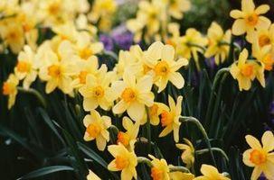 Profondità di semina adeguata per Narciso Bulbi